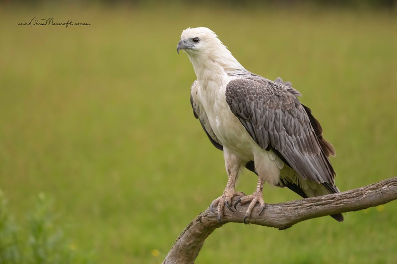 White Bellied Sea-eagle, Haliaeetus leucogaster
