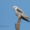 Black-Shouldered Kite, Elanus axillaris