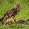 Swamp Harrier, Circus approximans