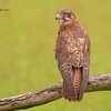 Brown Goshawk, Accipiter novaehollandiae