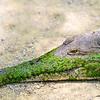 Freshwater Crocodile (captive)