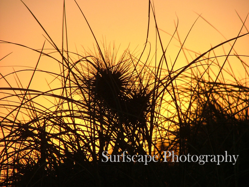Dune Grass, Western Australia