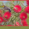 New Holland Honeyeater, Phylidonyris Novaehollandiae, in a native Bottlebrush shrub at Porongurups, Western Australia.<br /> <br /> Photographed October 2011 - © Lesley Bray - All Rights Reserved.