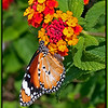 10/366 <br /> Although Lantana is a pest weed in Australia, I think it has a pretty flower.  I remember when I was a child, my dad used to spray it to remove the plants from our property.  Butterflies are attracted to the flowers.  This photo was taken near the cemetery in New Norcia, Western Australia.<br /> <br /> Photographed January 2012 - © Lesley Bray Photography - All Rights Reserved.