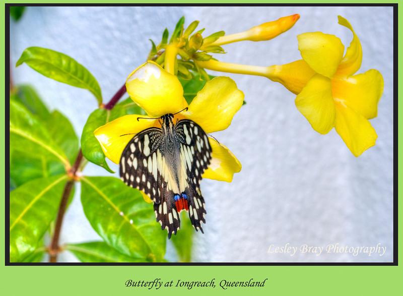 Butterfly at Longreach, Queensland, Australia.