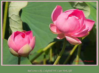 Lotus blooms on Red Lily Lagoon in Lakefield National Park, Cape York Peninsular, Queensland, Australia.   Photographed July 2010 - © Lesley Bray Photography