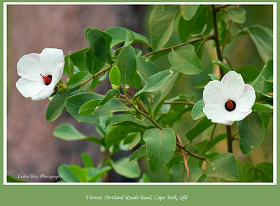 We saw these pretty flowers on the Portland Roads Road, Cape York Peninsular, Queensland, Australia.   Photographed July 2010 - © Lesley Bray Photography