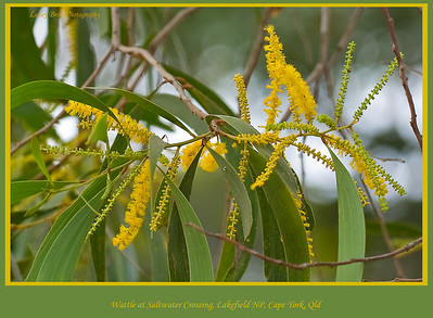 Wattle flower near Saltwater Crossing, Lakefield National Park, Cape York Peninsular, Queensland, Australia.   Photographed July 2010 - © Lesley Bray Photography