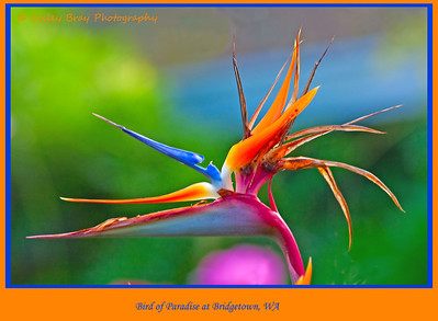 Bird of Paradise, Strelitzia, at Bridgetown, Western Australia