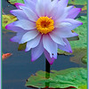 What is it about waterlilies?  They have a majestic feel about them!<br />   This one was in Scrubby Creek, Gracemere, Capricornia Coast, Queensland, Australia.<br /> <br /> Photographed August 2010 - © Lesley Bray Photography