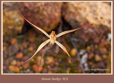 Spider Orchid at Mount Barker, Western Australia.  Photographed September 2011 - © Lesley Bray - All Rights Reserved.