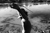 Un enfant de la communauté de Ngukurr s'exerçant à pêcher à la lance dans les eaux du Yellow Water Billabong. Terre d'Arnhem/Territoire du Nord/Australie