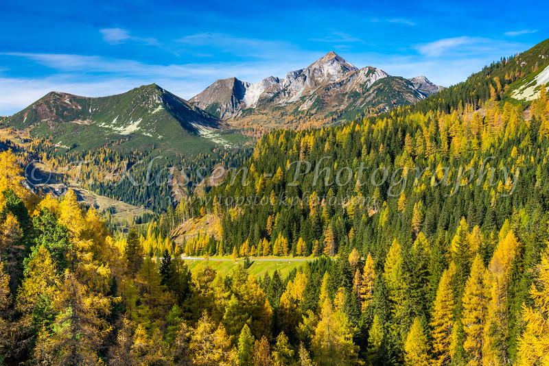 Fall foliage color in the larch trees near Obertrauen, Austria, Europe.