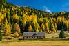 Golden larch in the hills near Schoenfeld, Austria, Europe.