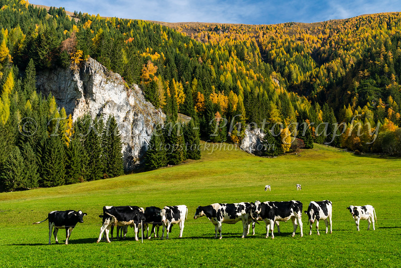 Dairy cattle in a pasture near the village of Tweng, Austria, Europe.