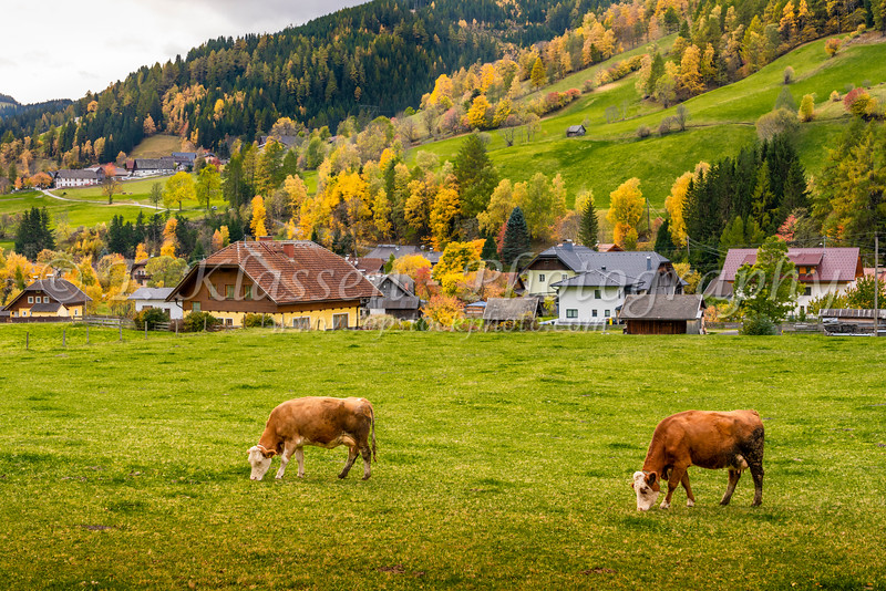 Cattle grazing in a pasture with fall foliage color outside the village of Rennweg, Austria, Europe.