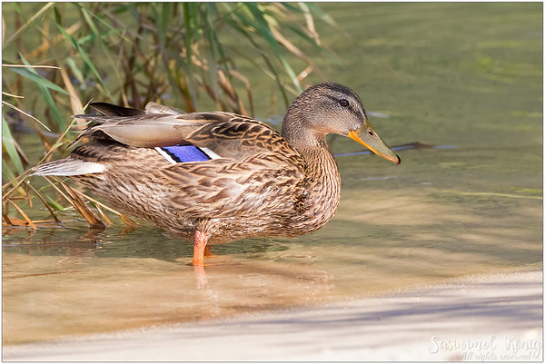 Female mallard at the Lake Achen (Achensee), Austria