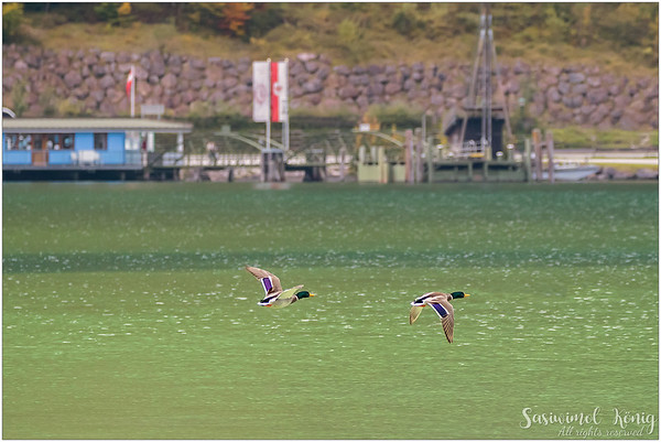 Flying male Mallard at the Lake Achen (Achensee), Austria