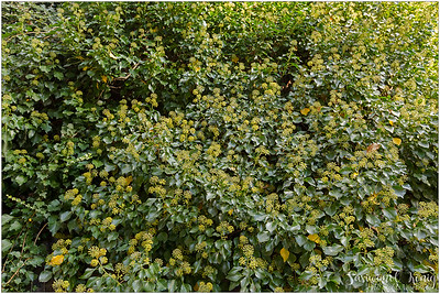 Hedera (English ivy).. lots and lots of flowers