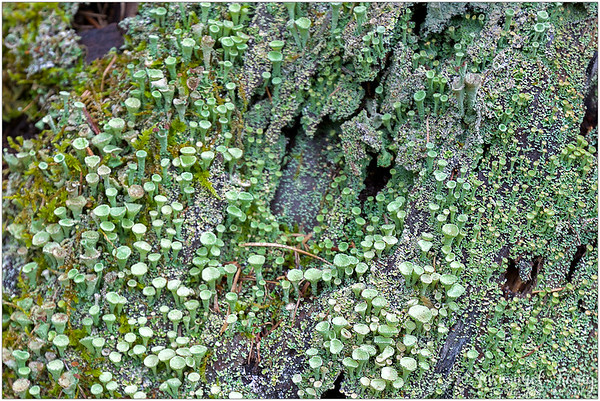 Lots of cup lichens