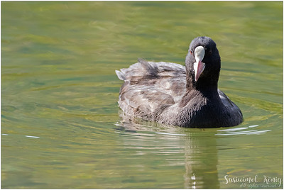 Coot-afternoon !