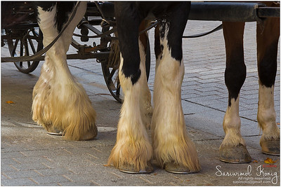 Gypsy Horse with winter socks :P