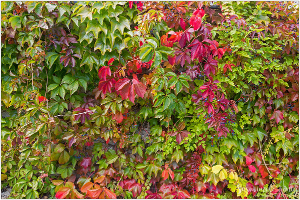 Colorful Vines! Virginia creeper?