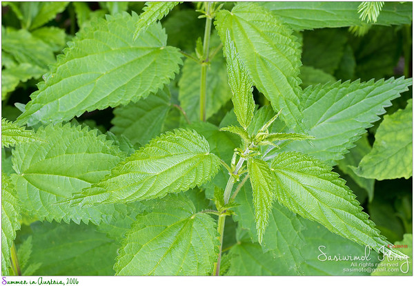 Common nettle plants with defensive stinging hairs