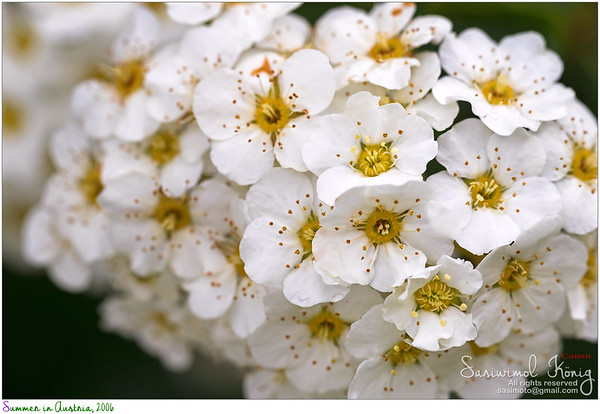 white Spiraea flowers, Bridal-wreaths