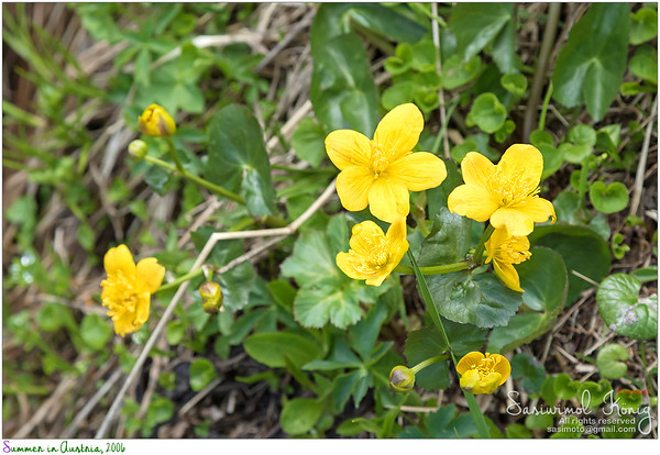Marsh Marigold flowers