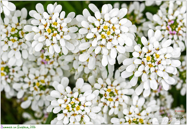 Evergreen Candytuft flower, Iberis