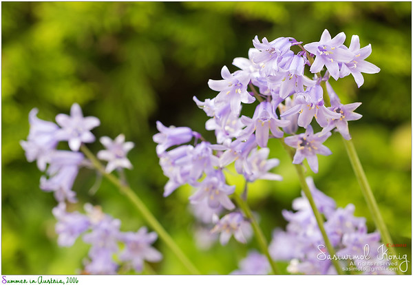 Hyacinthoides… sweet colors