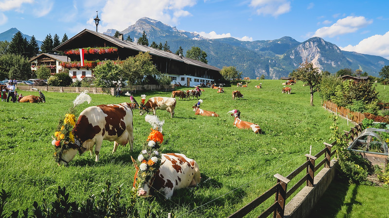 The cows coming home parade in Tyrol