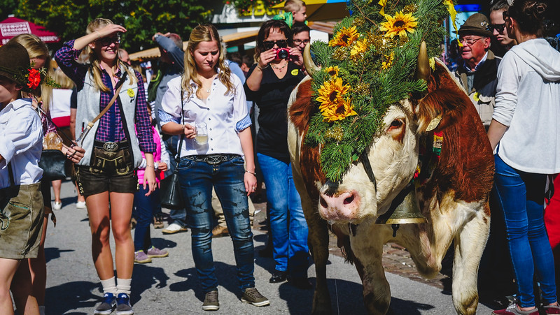 The cow parade is the main event of the Almabtrieb.