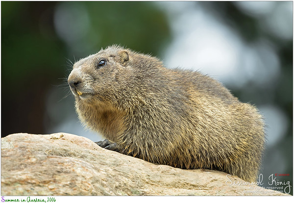 Marmot with yellow teeth.. it probably has dental phobia