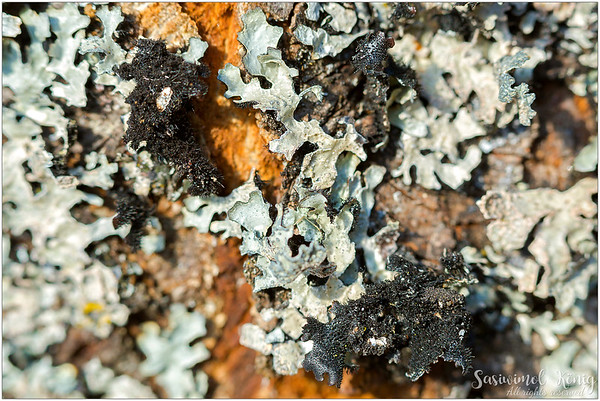 Pearly lichen.. I kinda like the hairy black texture underneath