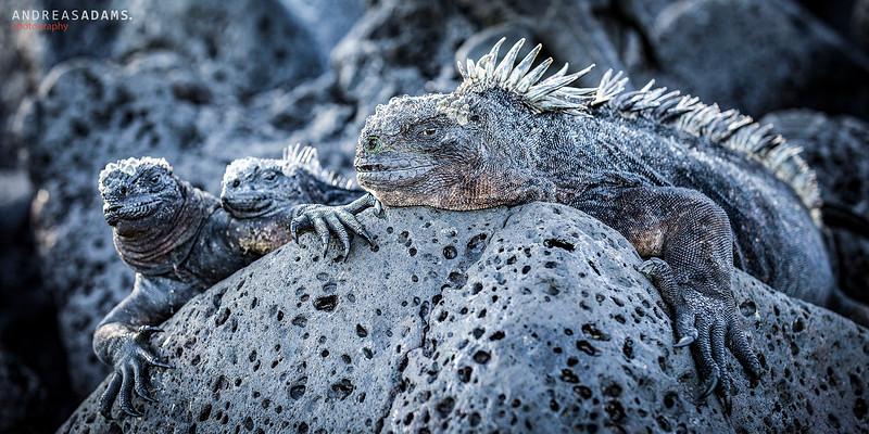 Iguana Family