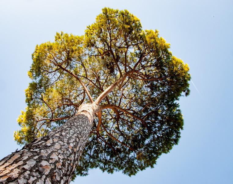 Umbrella Pine.