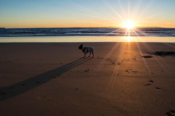 Frenchie at sunrise