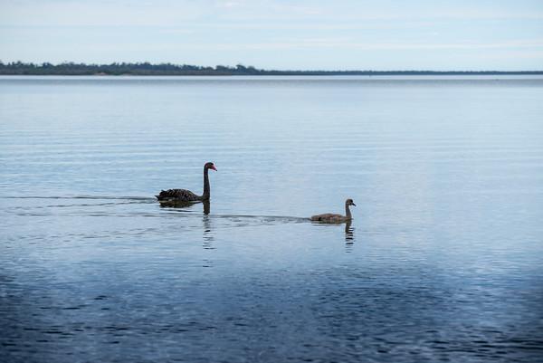 Swan along