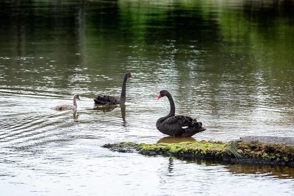 Swan, two, three