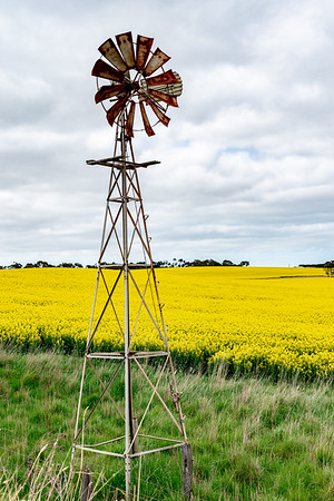 Canola fields