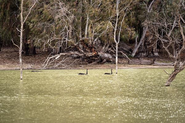 Swans in a billabong