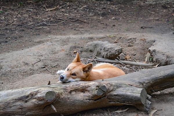 Lazy Dingo