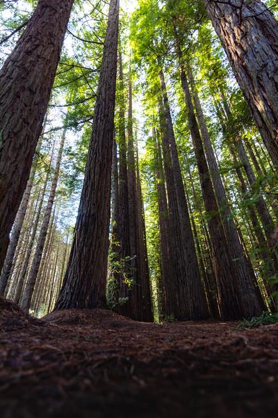 Californian redwoods