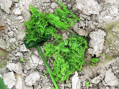 2005 - Premiers 'machoullis' de sangliers sur les épis de blé à peine formés fin mai