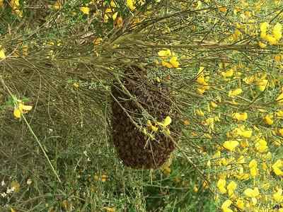 2006 - Essaim d'abeilles dans les genêts en fleurs