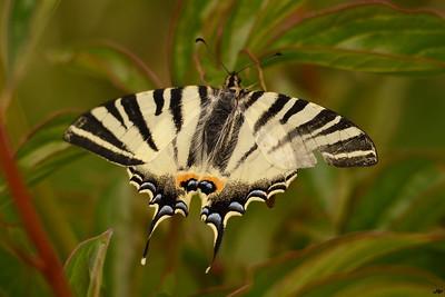 2014 - Papillon printanier