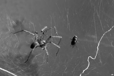 2014 - Araignée prêt se repaitre d'une mouche