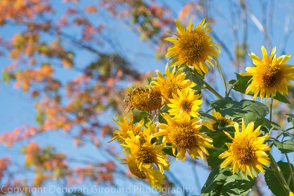 Sunflowers and fall foliage